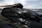 Oil on wild Life- Oilzorb to Clean oil off wildlife
